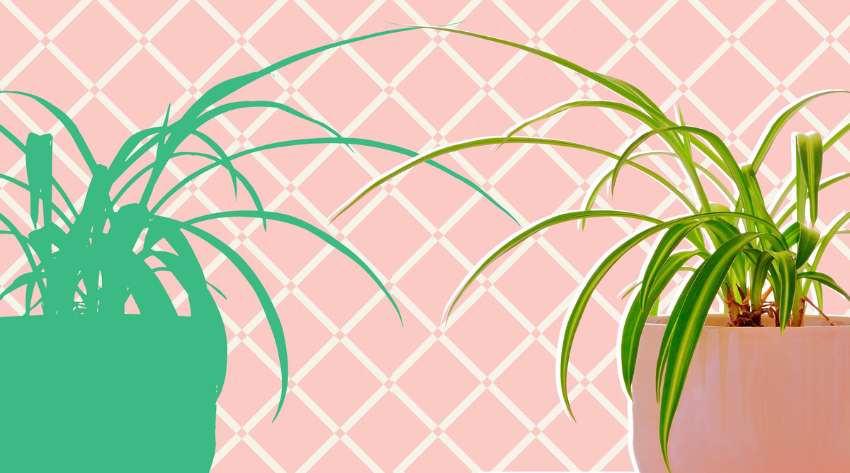 The Secret to Caring forSpider Plants? Don't Overthink It