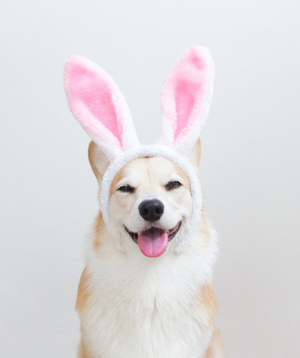 Easter Memes, Corgi with Bunny Ears
