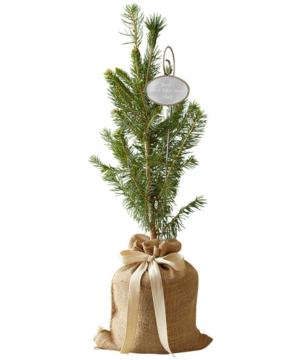 Real Simple Colorado Spruce