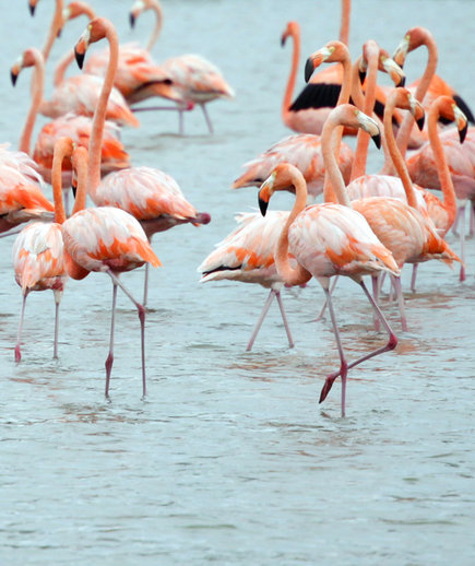 Groupf of Flamingos