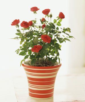 Miniature red roses in a red striped pot