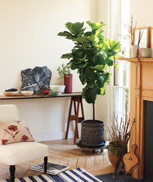 Living Room Plant. Fig tree on wheels Decorating With House Plants  Real Simple