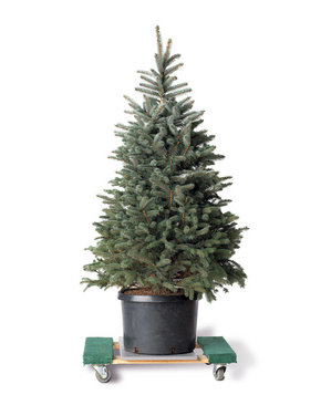 Potted evergreen tree