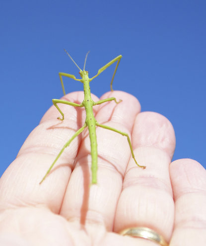 green-stick-insect-hand