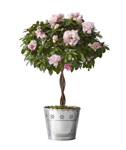 Azalea Topiary by Real Simple