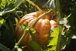 how-to-plant-pumpkin-seeds