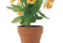potted-kalanchoe-flowers