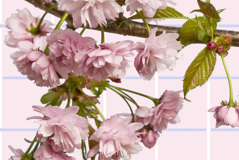 Peak Cherry Blossom Season Is Arriving Sooner Than Expected This Year–Here's What to Know