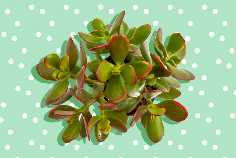 How to Care for a Jade Plant (Even If You're Terrible at Houseplants)