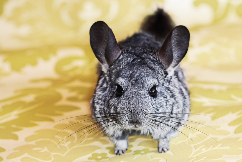 How to Take Care of a Pet Chinchilla