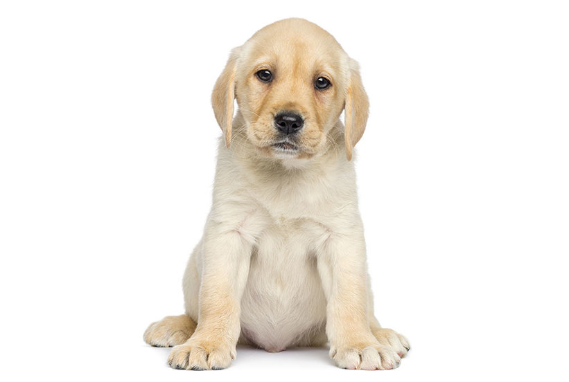 The Labrador Retriever Is America S Favorite Dog Real Simple