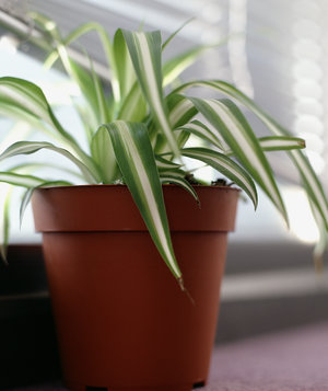 spider-plant-air-purifying