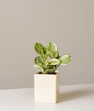 peperomia-plant-sill
