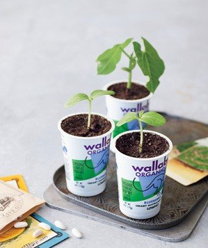 yogurt-container-used-to-nurture-seedling