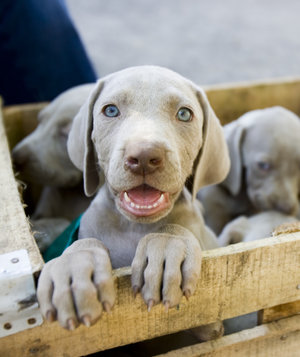 brown-puppies-crate