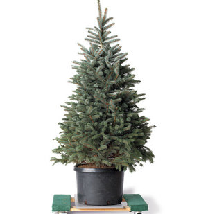 Real Christmas Trees Near Me.6 Tips For Live Christmas Trees Real Simple