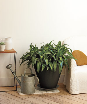 Five dracaena in one planter