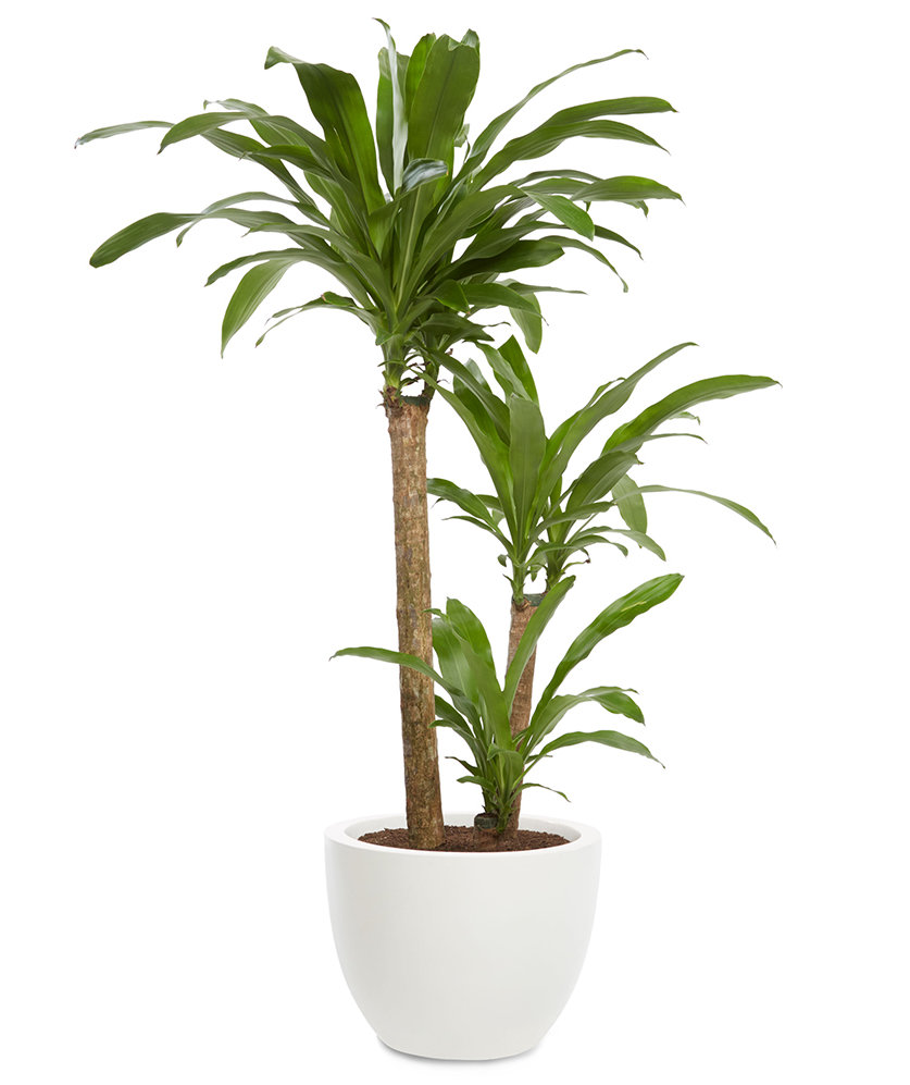 Dracaena dracaena fragrans 7 office plants you won t for Plante dracaena