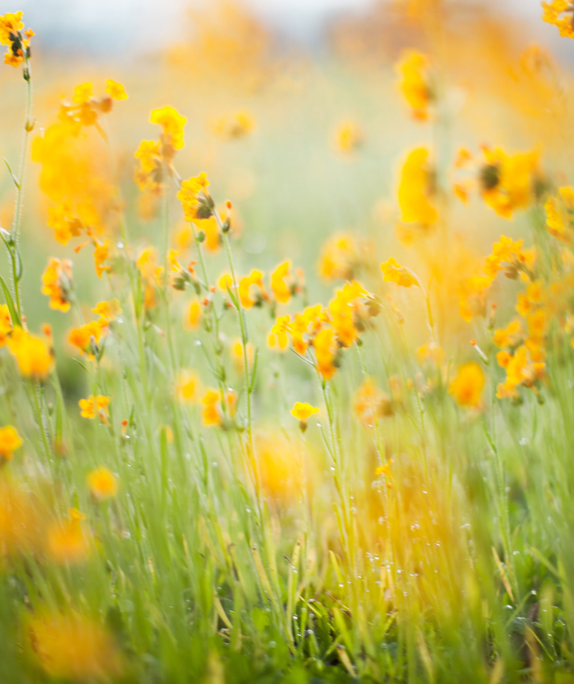 blurry-yellow-flowers