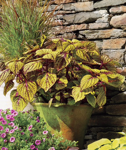 http://cdn-image.realsimple.com/sites/default/files/styles/rs_photo_gallery_vert/public/coleus.jpg?itok=5073qlMs