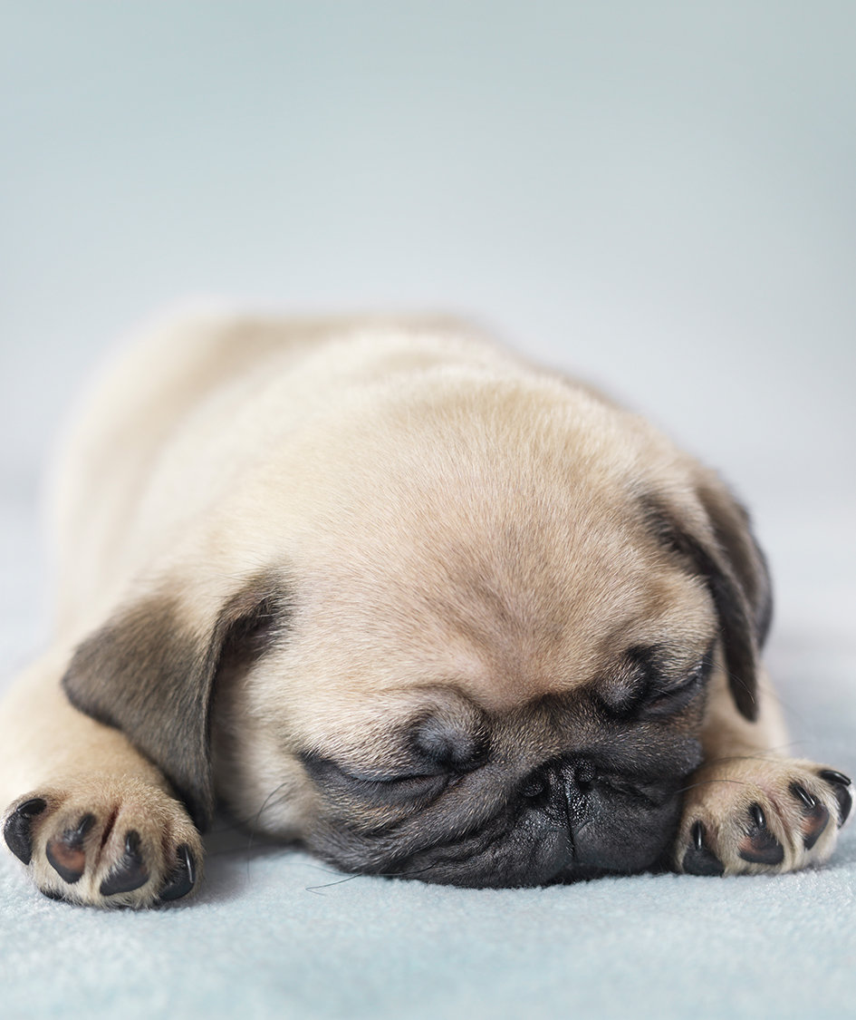 pug-puppy-dreaming