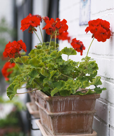 10 goofproof outdoor plants real simple - How to care for ivy geranium ...