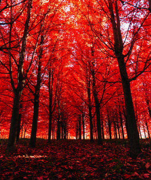 autumn-trees-in-forest-with-bright-red-leaves