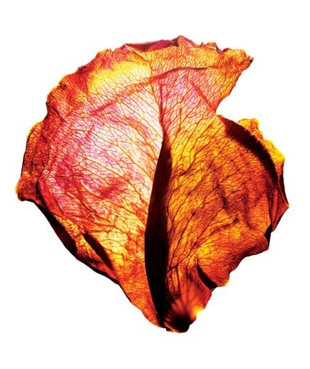 red-orange-yellow-dried-petal