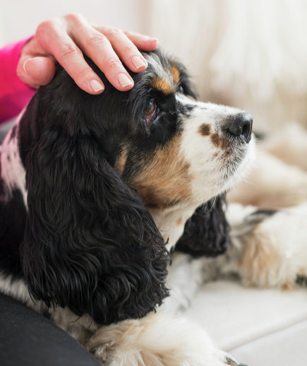 dog-spaniel-hand-petted