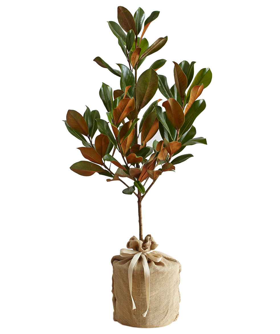 Christmas Gift Ideas For Your Mother In Law: Magnolia Tree By Real Simple