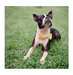 boston-terrier-yellow-bowtie