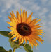 sunflower-blue-sky
